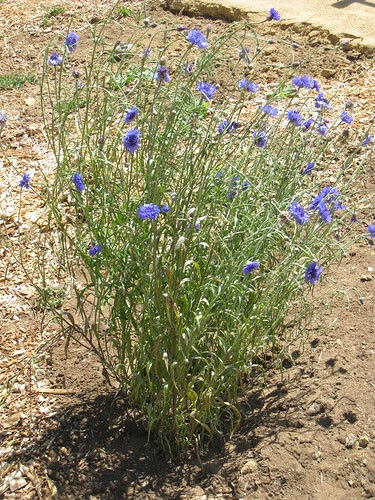 Aptos Community Garden - 6/28/2010