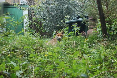 Fox in garden May 13