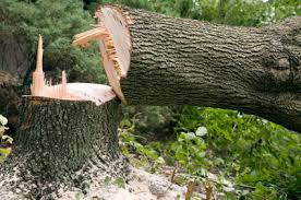 fakivágás veszélyes fák lebontása Rákosszentmihály