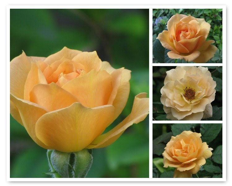 Mosaic of Mystery Rose