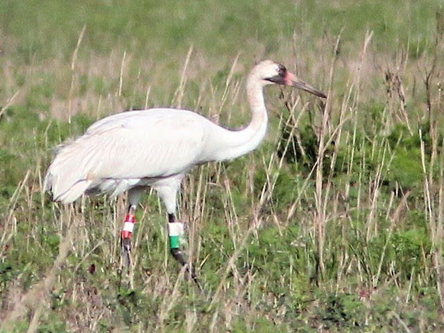 Whooping Crane Number 16-12 4-20130414
