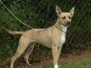BELLA (in foster care): Carolina Dog, Dog; Newport, NC