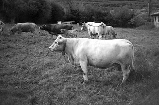Vacas en Valgañón - f.10