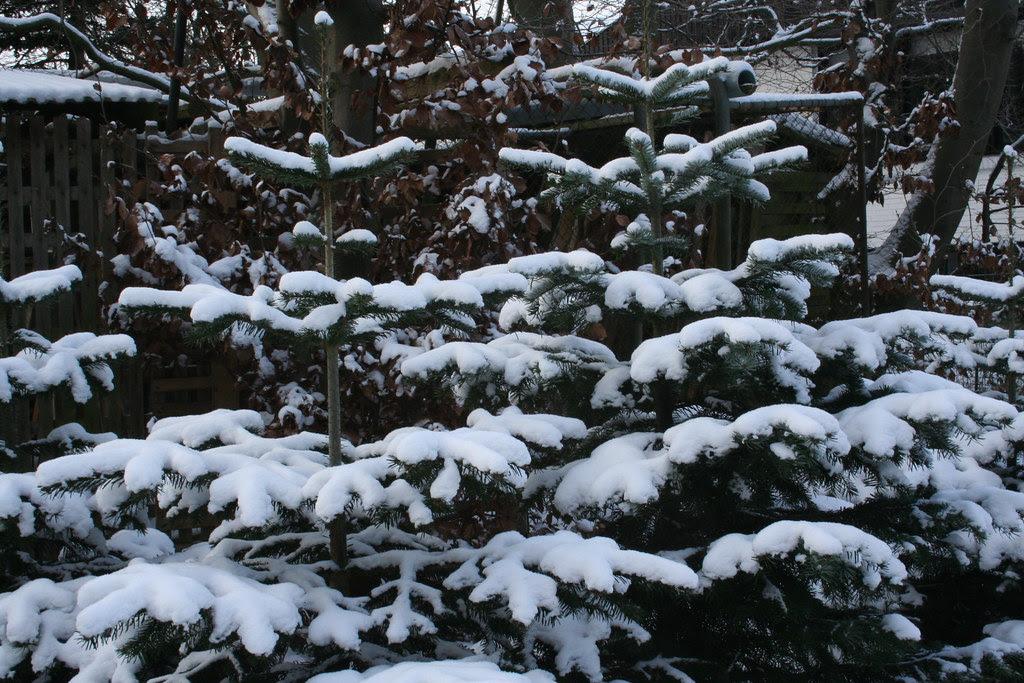 Gran under sne