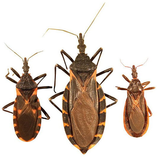 Kissing Bug and Chagas Disease in Texas