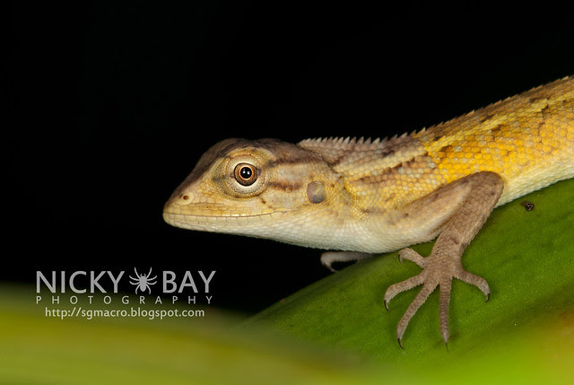 Changeable Lizard (Calotes versicolor) - DSC_1407