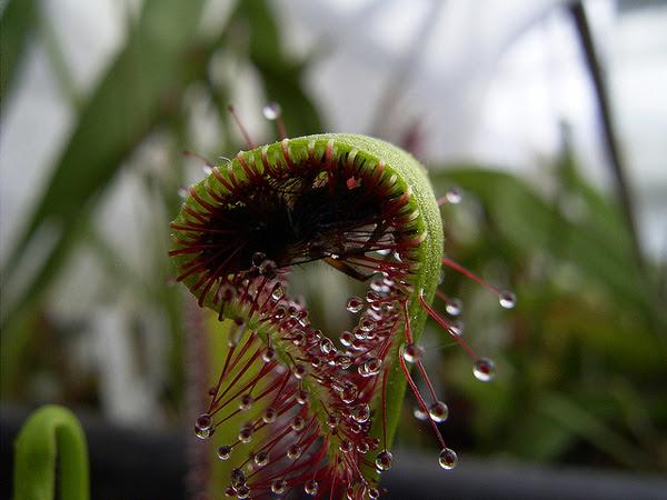 "perierga.gr - Φυτό-αράχνη ""καταπίνει"" έντομο!"