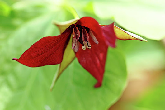 Glowing Trillium by Debbie Oppermann