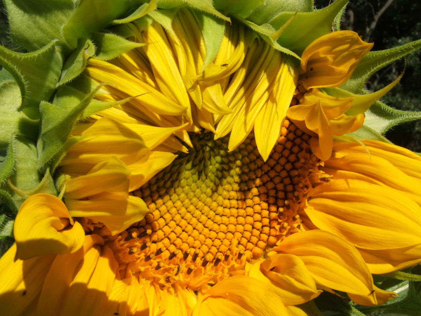 Giant Gray Stripe Sunflower by Angie Ouellette-Tower for godsgrowinggarden.com photo 012_zps7866fe20.jpg