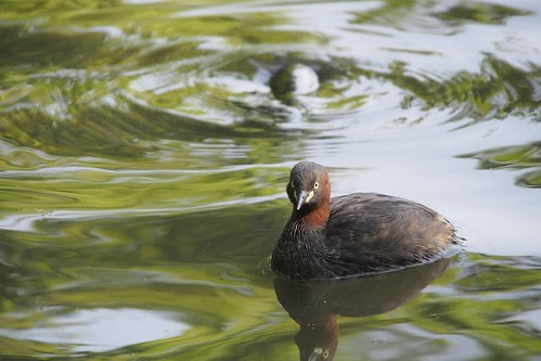 井の頭池のカイツブリ