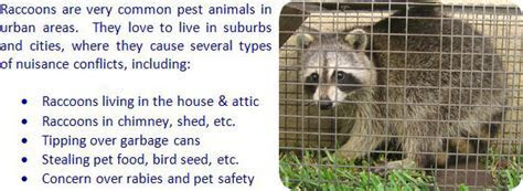 How to Get Rid of Raccoons in the Attic, Roof, Ceiling, House, Yard, Garbage