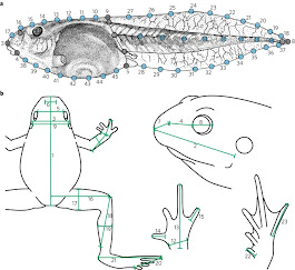 Adult frogs and tadpoles have different macroevolutionary patterns across the Australian continent | Nature Ecology & Evolution