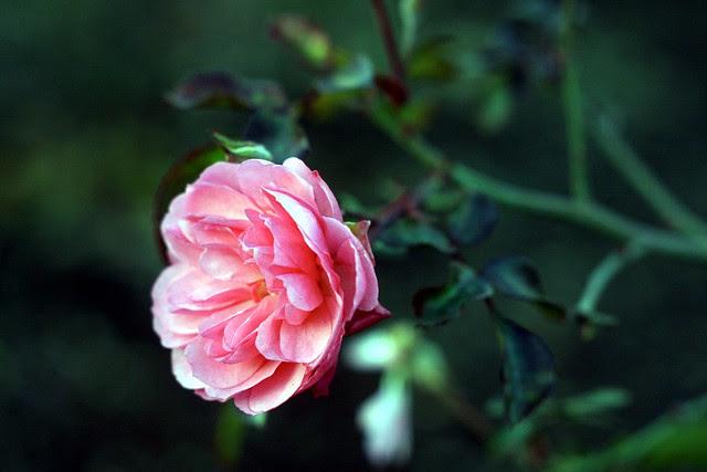 january roses