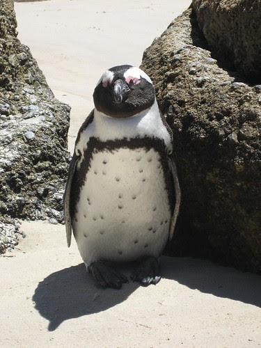 spotty penguin