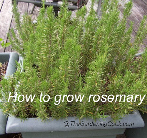 Fresh Rosemary - Herb to Grow in Patio Containers
