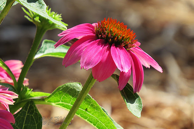 IMG_5797Coneflower