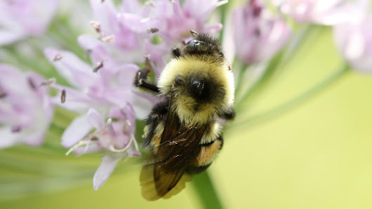 Trump administration delays adding bumblebee to endangered list