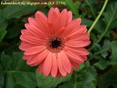 ch - cv pink gerberas