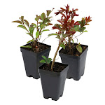 """2.5"""" Enduring Red Crepe Myrtle, 3-count"""
