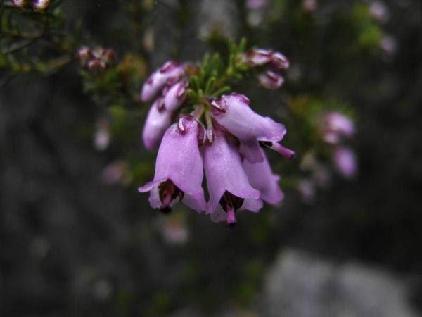 230-plantas-medicinales-mas-efectivas-y-sus-usos-brezo-flor