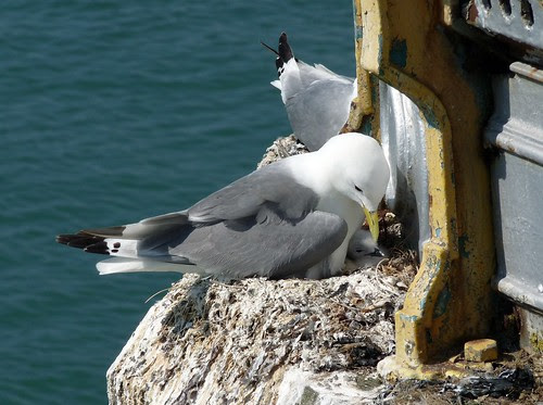 22017 - Kittiwakes on Mumbles Pier