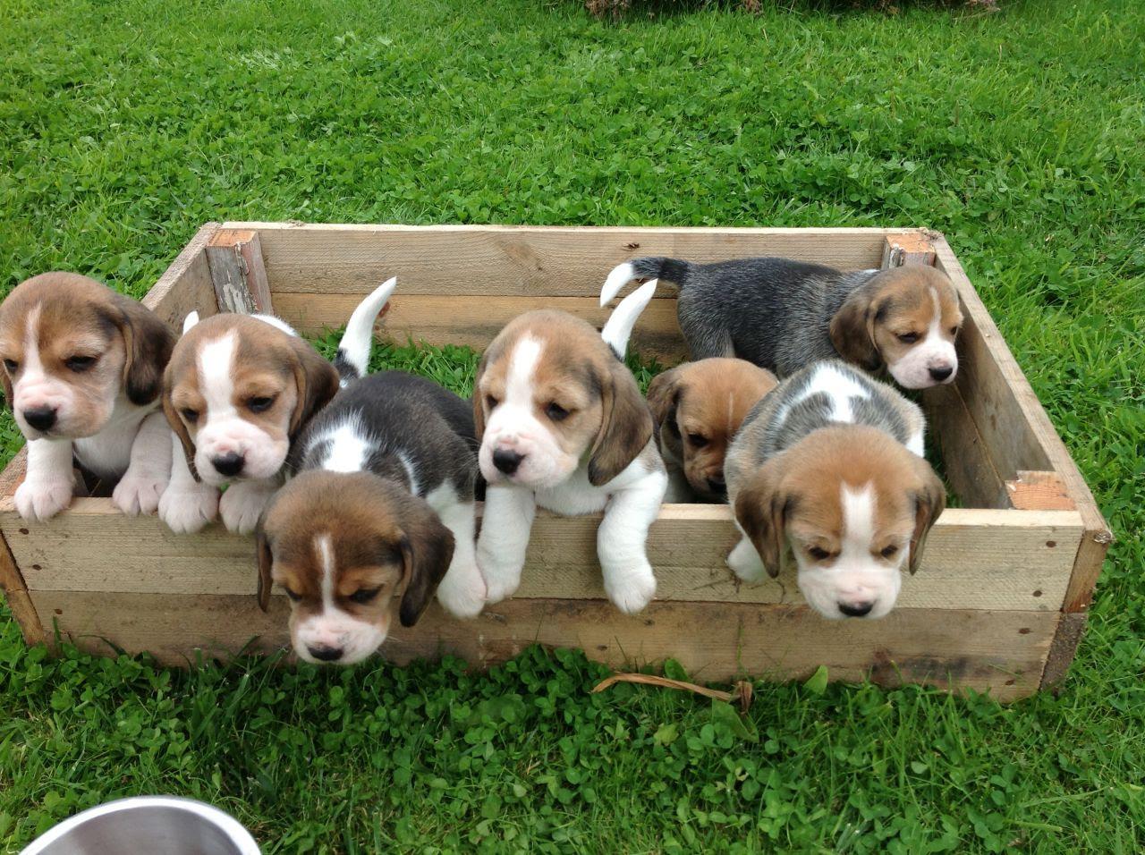 Beagle puppies on sale FOR SALE ADOPTION from Australian Capital Territory Australia