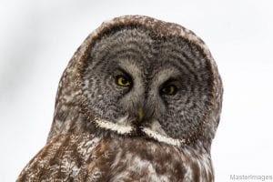 2017 Great Gray Owl Larry Master Photo