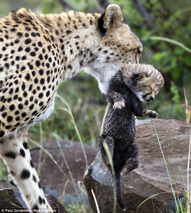 Up you get: A cheetah mother picks up her cub and starts carrying it