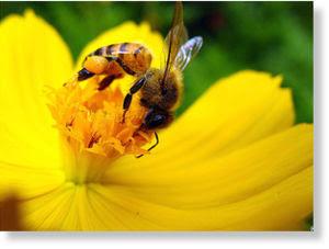 polen transgénico