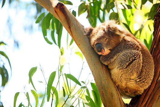 Kennett River Koala Walk - Best Place to Spot Wild Koalas in Australia