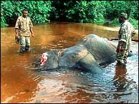 Dead elephant   WWF-Canon/Martin Harvey