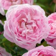 Rose Queen Ann Foto Kalbus