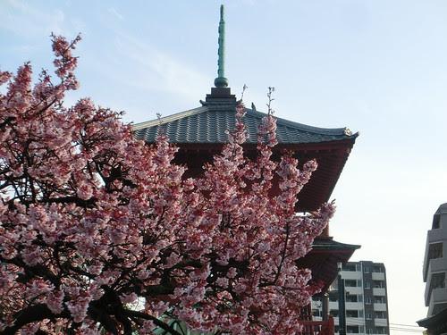 2012年3月20日 寒桜
