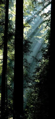 Muir Woods by Kiwi Flickr 2