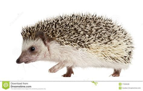 Four toed Hedgehog, Atelerix Albiventris Royalty Free Stock Photos   Image: 17000528