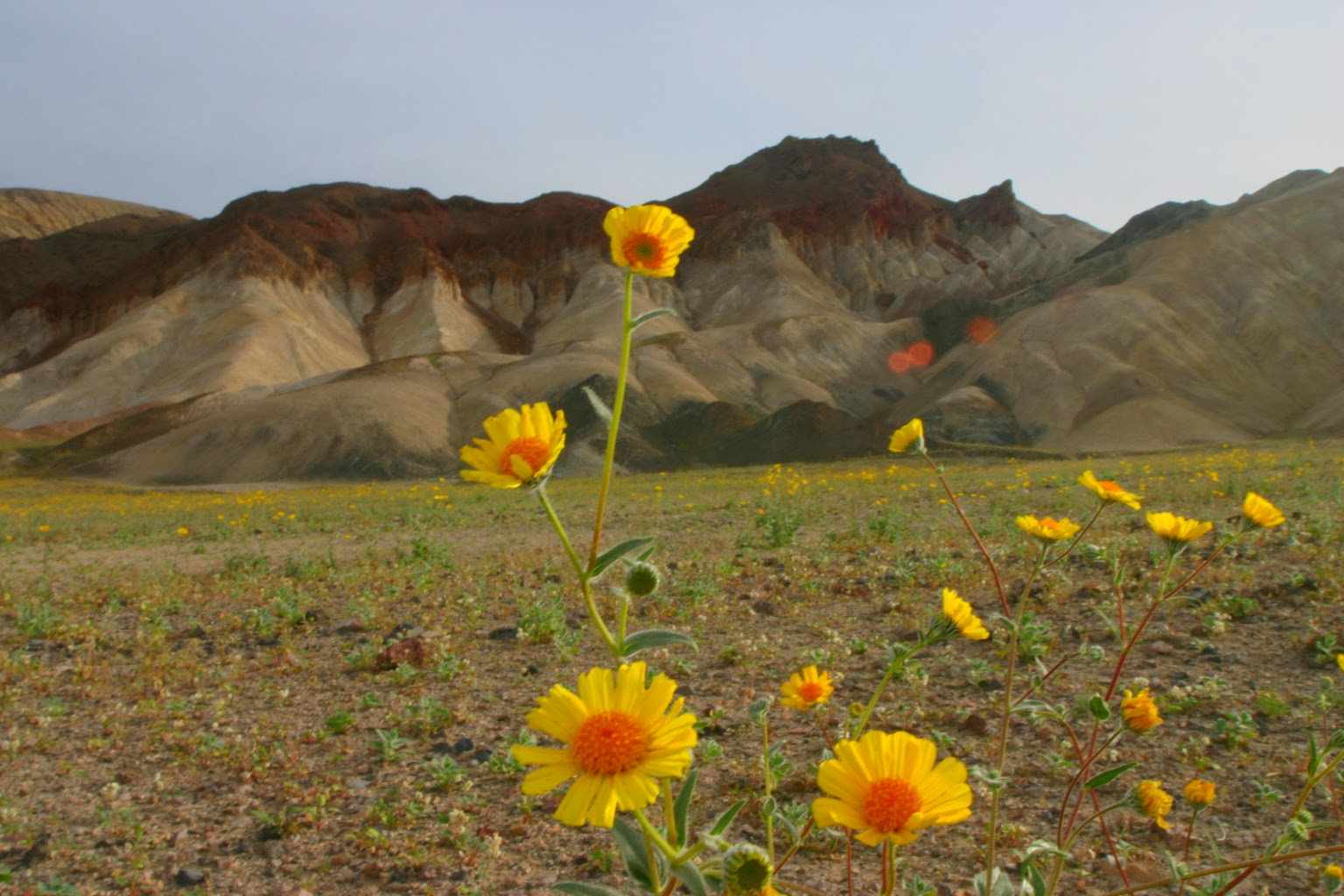 http://upload.wikimedia.org/wikipedia/commons/3/3f/Death_valley_flowers_1.jpg