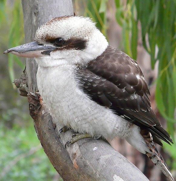 File:Kookaburra melb.jpg
