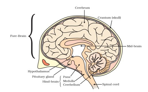 Gs notes on human brain for ssc cgl mts cpo exam 2017 the brain is the most complex part of the human body this three pound organ is the seat of intelligence interpreter of the senses initiator of body ccuart Image collections