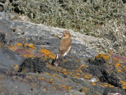 12281 - Wheatear at Burry Port