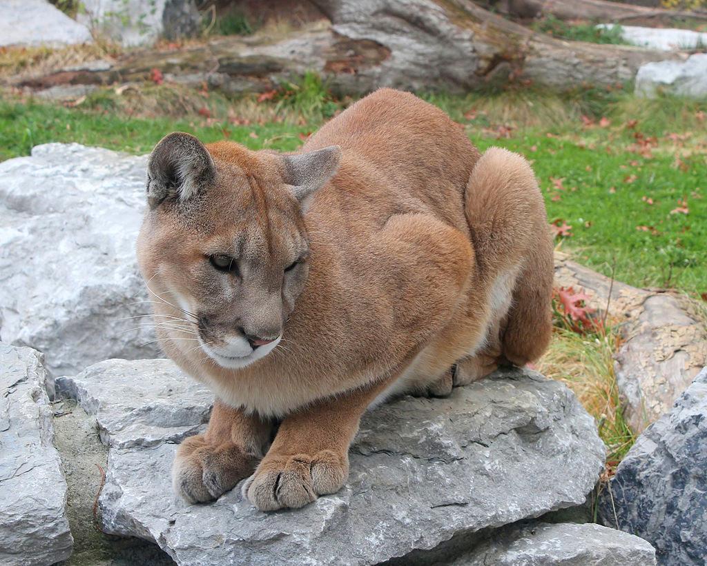 Cougar 25.jpg