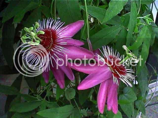 http://i203.photobucket.com/albums/aa85/fabioluca/Semi%20ricercati/PassifloraAnastasia.jpg