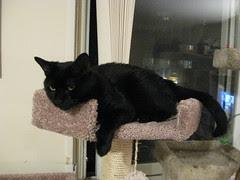 Beautiful Chloe on the New Cat Tree
