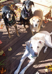 4dogs_101312c