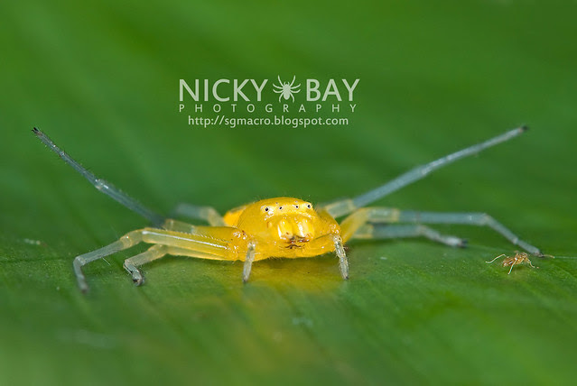 Eight-Spotted Crab Spider (Platythomisus octomaculatus) - DSC_0074