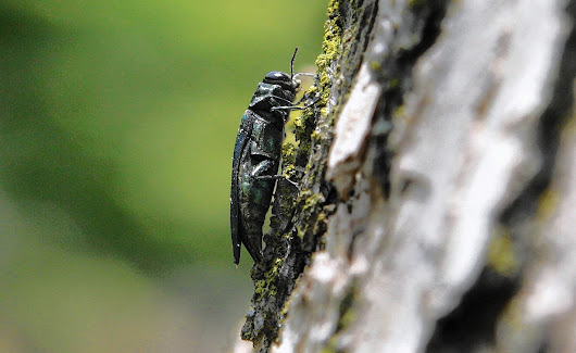 Illinois drops emerald ash borer quarantine, giving up on limiting beetle
