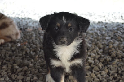 Miniature Australian Shepherd Puppies - FAWN C