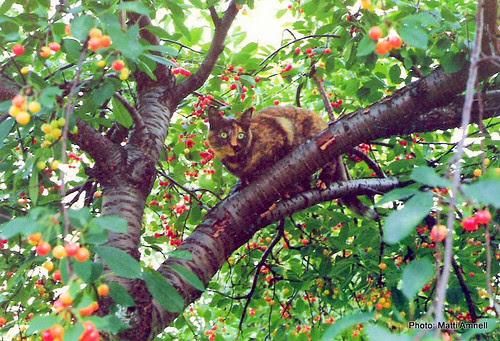 Tiina kirsikkapuussa