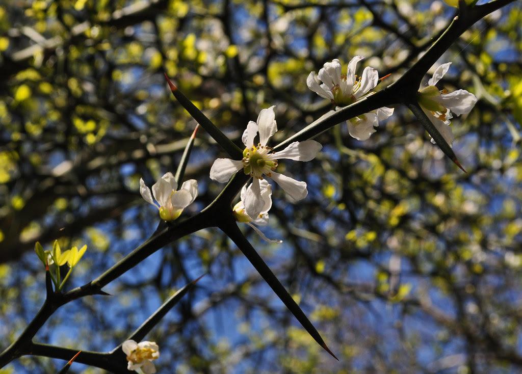 Poncirus trifoliata (3)