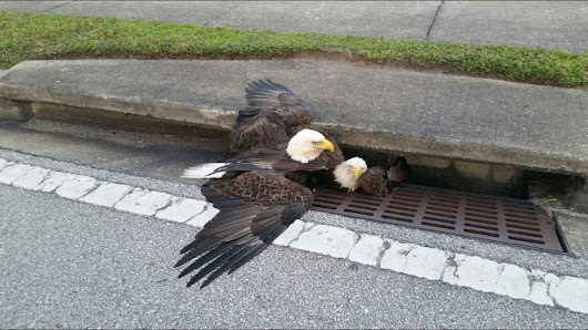 Freedom for two bald eagles after being trapped in Orlando drain