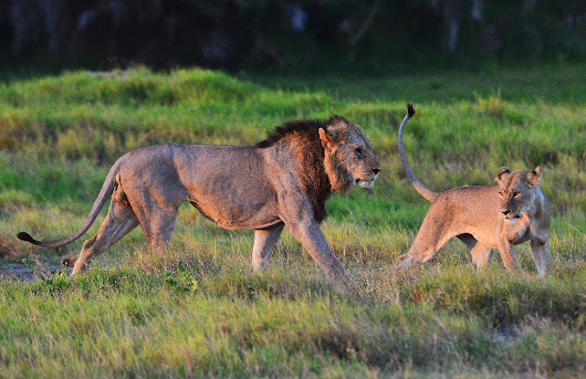Lions made famous on television poisoned in Kenya